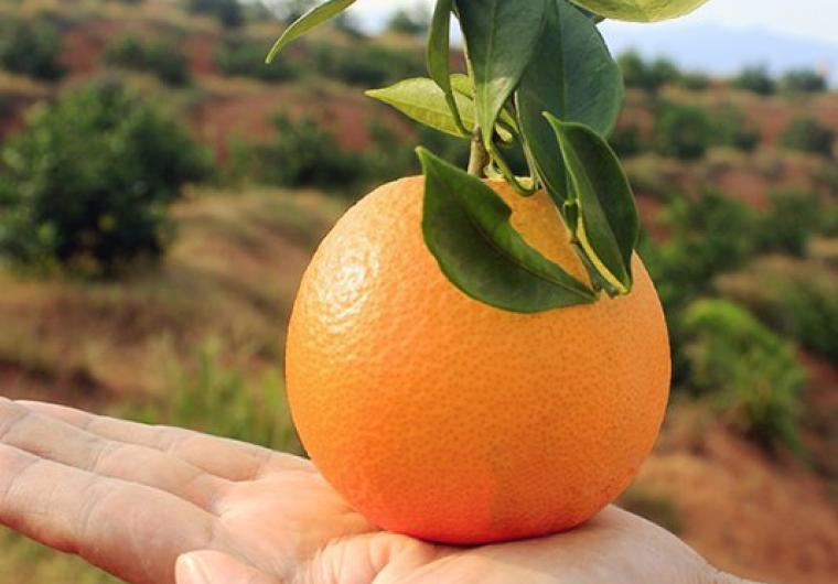 赣南早熟脐橙众筹中,把最好赣南早熟脐橙橙